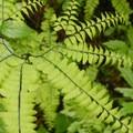 Maidenhair fern (Adiantum pedatum).- Forest Park