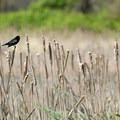 Red-winged blackbird (Agelaius phoeniceus).- Ridgefield National Wildlife Refuge