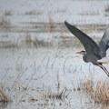 Great blue heron (Ardea herodias).- Ridgefield National Wildlife Refuge