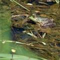 Bullfrog (Rana catesbeiana).- Ridgefield National Wildlife Refuge