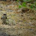 Tree swallow (Tachycineta bicolor).- Ridgefield National Wildlife Refuge