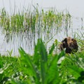 Nutria (Myocastor coypus).- Ridgefield National Wildlife Refuge