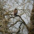 Great horned owl (Bubo virginianus).- Ridgefield National Wildlife Refuge