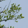 Bald eagle (Haliaetus leucocephalus).- Ridgefield National Wildlife Refuge