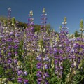 Lupine (Lupinus).- Powell Butte Nature Park
