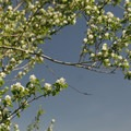 Bitter cherry (Prunus emarginata).- Powell Butte Nature Park