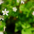 Candyflower (Claytonia sibirica).- Powell Butte Nature Park