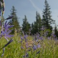 Common camas (Camassia quamash).- Lacamas Creek Park