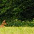 Black-tailed deer (Odocoileus hemionus) laying down in Elk Meadow.- Oxbow Regional Park