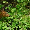 Black-tailed deer (Odocoileus hemionus).- Oxbow Regional Park