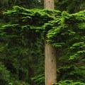 Western hemlock (Tsuga heterophylla).- Oxbow Regional Park