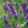 Woolly vetch (Vicia villosa).- Mayer State Park