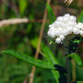 Pearly everlasting (Anaphalis nubigena).- Ecola State Park