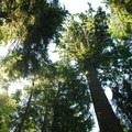 The park's old-growth tree canopy.- Oswald West State Park