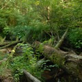 Dense vegetation along Spencer Creek.- Beverly Beach State Park