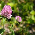 Non-native red clover (Trifolium pratense).- Coldwater Lake Hiking Trail