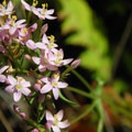 Non-native common centaury (Centaurium erythraea).- Coldwater Lake Hiking Trail
