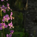 Fireweed (Chamerion angustifolium).- Hummocks Trail