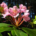 Pacific rhododendron (Rhododendron macrophyllum).- Silver Falls State Park