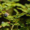 Cascades blueberry (Vaccinium deliciosum).- Opal Creek Hiking Trail
