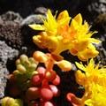 Cascade stonecrop (Sedum divergens).- Three Fingered Jack