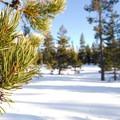 Lodgepole pine (Pinus contorta).- Wanoga Sno-Park Cross-Country Ski Loop