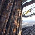 Western juniper (Juniperus occidentalis).- Pilot Butte Summit Trail