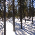 Forest of lodgepole pine (Pinus contorta).- Swampy Lakes, Porcupine Snowshoe Loop
