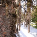 Engelmann spruce (Picea engelmannii).- Swampy Lakes, Porcupine Snowshoe Loop