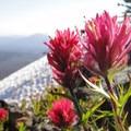 Magenta paintbrush (Castilleja parviflora).- Mount Washington