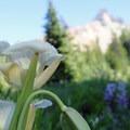 Subalpine mariposa lily (Calochortus subalpinus).- Mount Washington