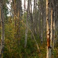 Aspen (Populus tremuloides) grove.- Shevlin Park