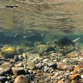 Wild Chinook salmon (Oncorhynchus tschawutscha) spawning in late summer.- Salmon River, West Canyon Trail