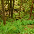 View of the canyon's old-growth forest.- Salmon River, West Canyon Trail