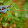 Dull Oregon grape (Mahonia nervosa).- Salmon River, West Canyon Trail