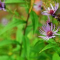 Cascade aster (Aster ledophullus).- Salmon River, West Canyon Trail