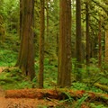 Forest of Douglas fir, western red cedar and western hemlock.- Salmon River, West Canyon Trail