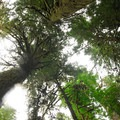 Old-growth canopy.- Salmon River, West Canyon Trail
