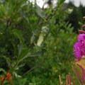 Fireweed (Chamerion angustifolium).- Mirror Lake + Tom Dick and Harry Mountain