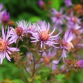 Cascade aster (Aster ledophullus).- Mirror Lake + Tom Dick and Harry Mountain