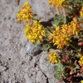 Unidentified buckwheat species (help us identify it by providing feedback).- Paradise Park via Timberline Lodge
