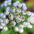 Pearly everlasting (Anaphalis nubigena).- Paradise Park via Timberline Lodge