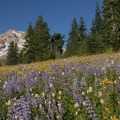 Lupine (Lupinus) and arrowleaf groundsel (Senecio triangularis).- Paradise Park via Timberline Lodge