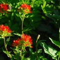 Paintbrush (Castilleja).- Paradise Park via Timberline Lodge