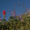 Magenta paintbrush (Castilleja parviflora) and lupine (Lupinus).- Paradise Park via Timberline Lodge
