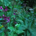 Hedge-nettle (Stachys chamisonis).- Elk Meadows
