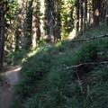 Forest floor covered with bear grass (Xerophyllum tenax).- Elk Meadows