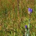 Explorer's gentian (Gentiana calycosa).- Elk Meadows