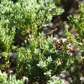 Ground juniper (Juniperus communis).- Gnarl Ridge Hike