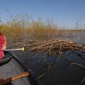 Beaver or nutria dam.- Smith + Bybee Lakes Canoe/Kayak
